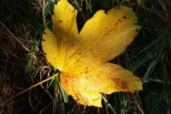herbstblatt-gelb