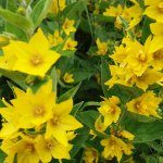 Opas Blume